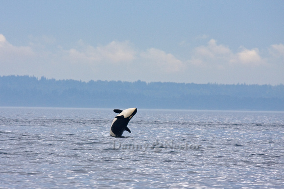 Orca off the San Juan Islands, WA
